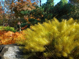 Amsonia hubrichtii en automne