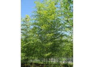 Bambou Semiarundinaria fastuosa - Haie
