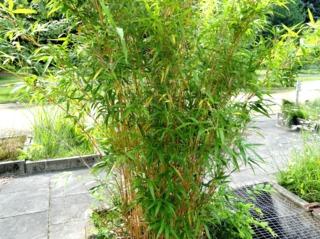 Bambou Semiarundinaria yashadake, en pot