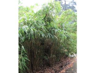 Bambou Semiarundinaria yashadake 'Kimmei'