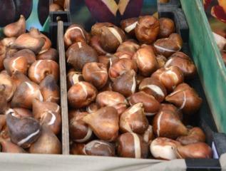 Bulbes de tulipe de gros calibre
