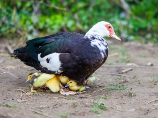 Canard de Barbarie (cane et canetons)
