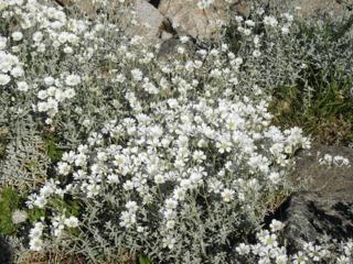 Cerastium tomentosum en rocaille