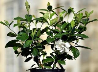 Gardenia 'Summer Snow'