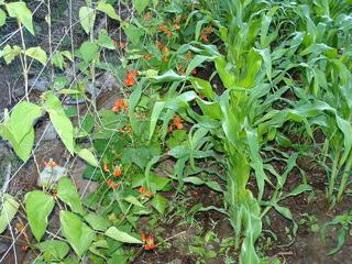 Haricots d'Espagne et maïs au potager