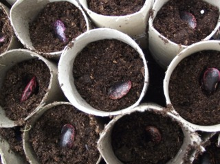 Semis de haricot d'Espagne en godet