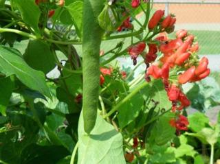 Haricot d'Espagne : semis, culture et récolte