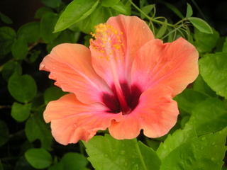 Fleur d'hibiscus (rosa sinensis)