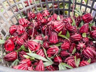 Récolte de fleurs d'hibiscus sabdariffa