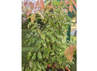 Huodendron biaristatum
