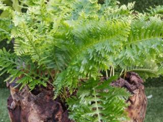 Polypodium cambrium 'Pulcherrimum Addison'