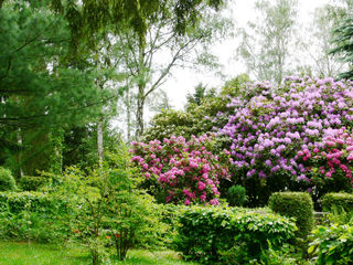 Rhododendrons géants (Rhododendron ponticum)