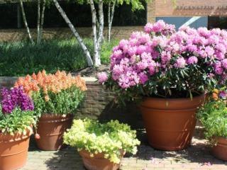 Rhododendron (à d.) en pot