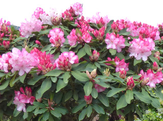 Rhododendron en haie
