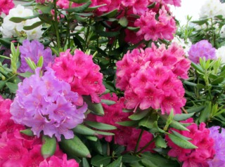 Rhododendrons rose, mauve et blanc