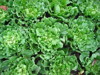Cornet d'Anjou et autres scaroles, des salades généreuses