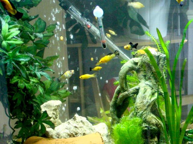 Poisson aquarium eau chaude 28 images aquarium eau for Poisson eau chaude aquarium