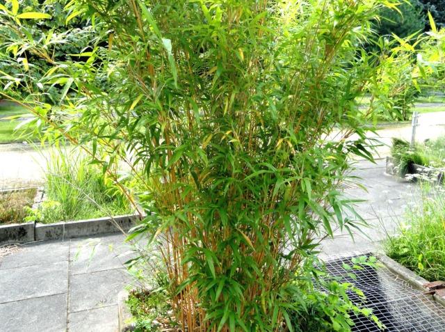 Plantation des bambous haie de bambous potager dcoratif cration plantes et lgumes ornementaux - Planter bambou en pot ...