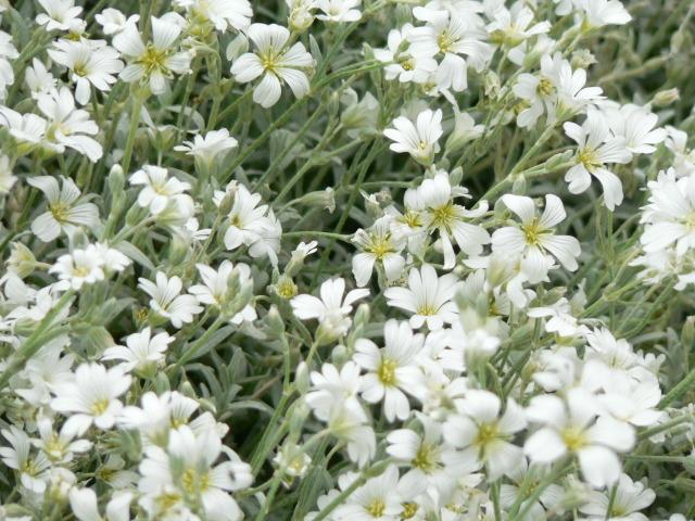 Cerastium tomentosum : plantation, culture, entretien