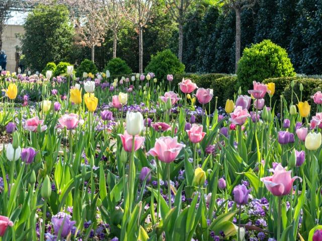 Massif de printemps facile : tulipes et pensées à planter dès l'automne