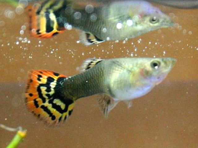 Les poissons d 39 eau chaude for Nettoyeur aquarium poisson