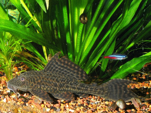 Les poissons d 39 eau chaude for Poisson aquarium eau douce froide