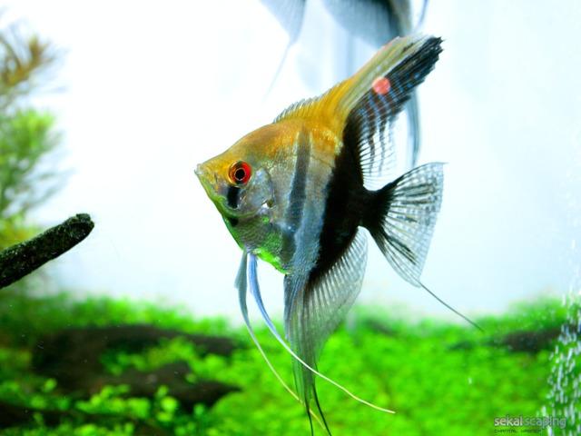 Les poissons d 39 eau chaude les poissons d 39 eau animaux de for Poisson aquarium eau chaude