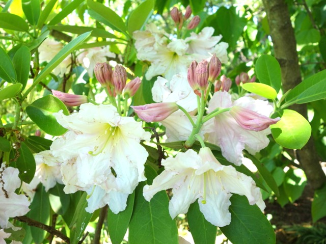 Rhododendron plantation culture