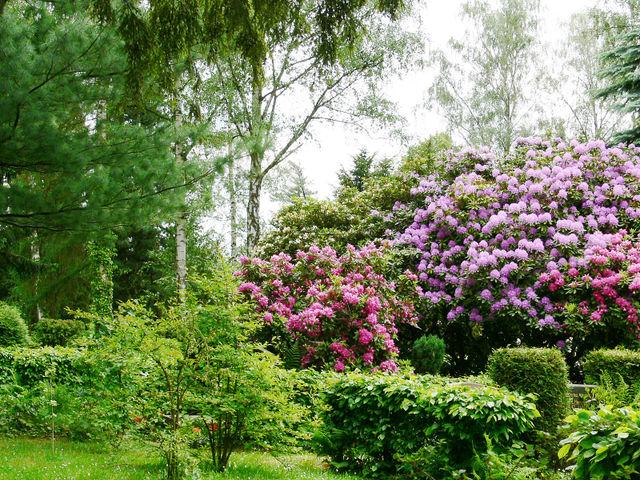 rhododendrons gants rhododendron ponticum agrandir limage - Planter Un Rhododendron Dans Votre Jardin