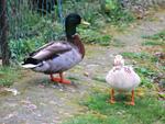 Elever des canards