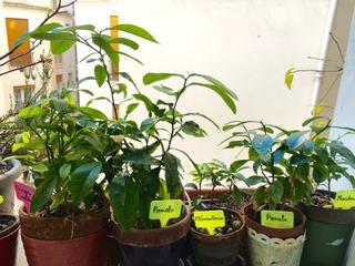 Jeunes plants d'agrumes