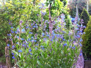 Anchusa azurea 'Loddon Royalist' (buglosse)