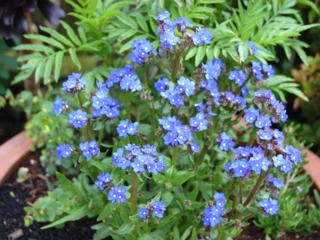 Anchusa capensis 'Blue Angel' (buglosse)