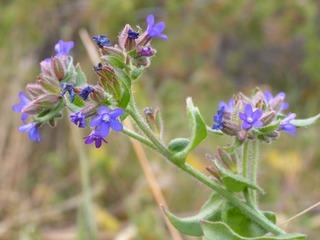 Anchusa officinalis, buglosse