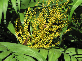 Chamaedorea elegans : fleurs