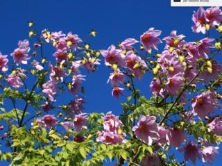 Dahlia arborescent