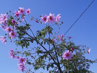 Dahlia arborescent, Dahlia imperalis