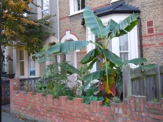 Dahlia arborescent et bananier en ville