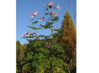 Dahlia imperialis (dahlia arborescent) fin novembre