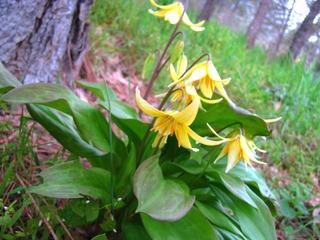 Erythrone jaune au pied d'un arbre