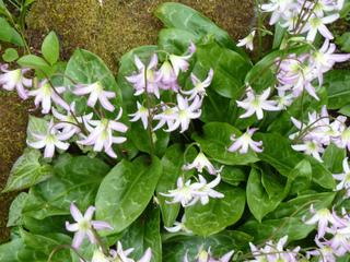 Erythronium, érythrone : plantation, culture, entretien