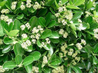 Euonymus japonicus, fusain du Japon - fleurs