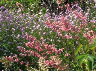Julienne de Mahon et heuchère en fleurs