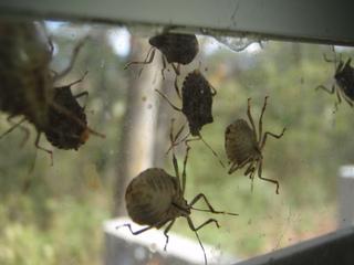 Halyomorpha halys sur une vitre