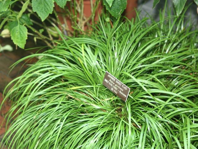 Acorus gramineus : plantation, culture, variétés