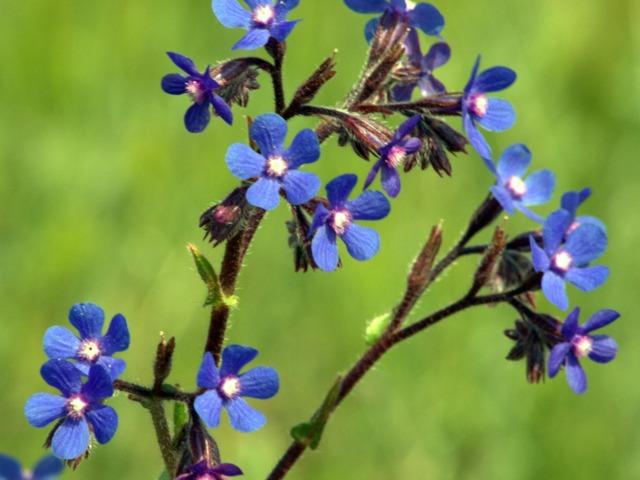 Buglosse, Anchusa : semis, culture, espèces