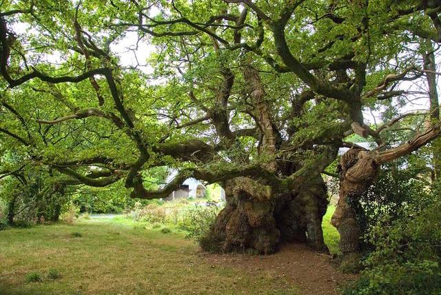 Chêne de Tronjoly