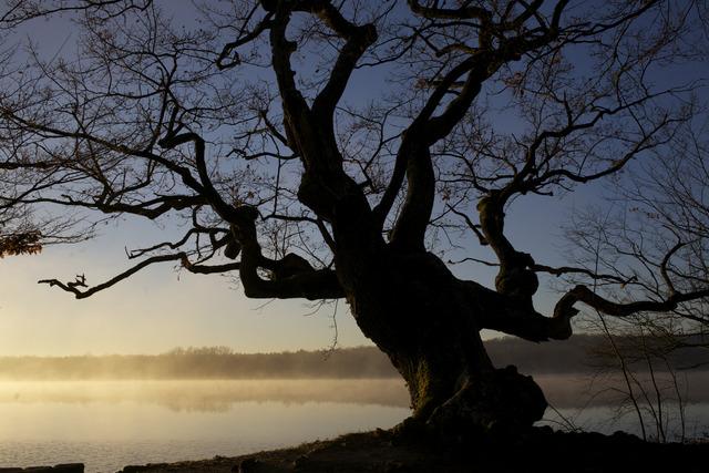 Chêne de l'étang de Rosnay