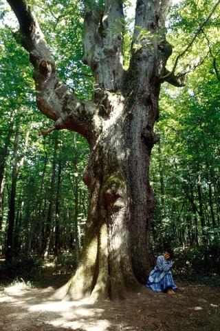 Chêne La Sentinelle, forêt de Tronçais