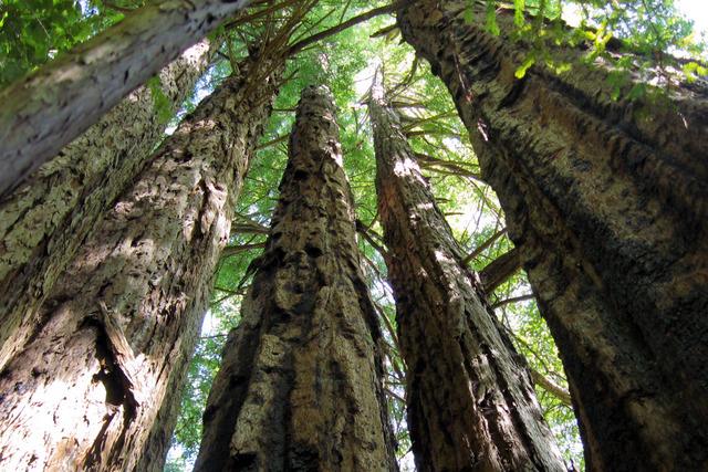 Sequoia sempervirens, Californie